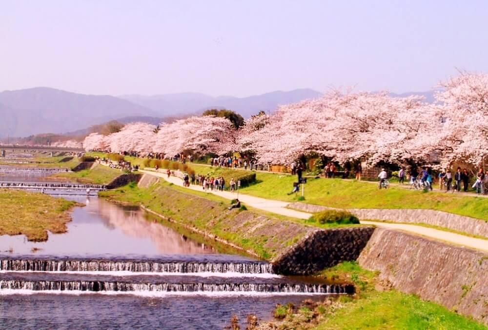 2022 Cherry Blossom Season Evening Hanami Tour: Kyoto